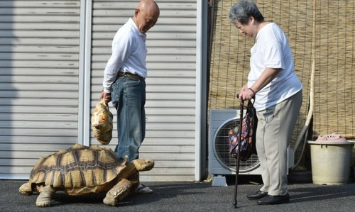 مرد ژاپنی در حال قدم زدن با لاک پشت 19 ساله اش در خیابانی در توکیو