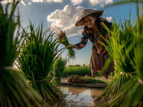 کشاورز برنجکار در شالی – تایلند