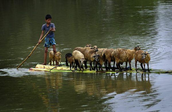 تلاش برای نجات احشام از سیلاب- آسام هند