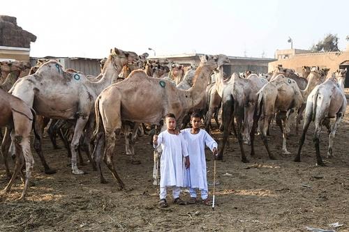 بازار شتر فروشان در حومه قاهره در آستانه عید قربان
