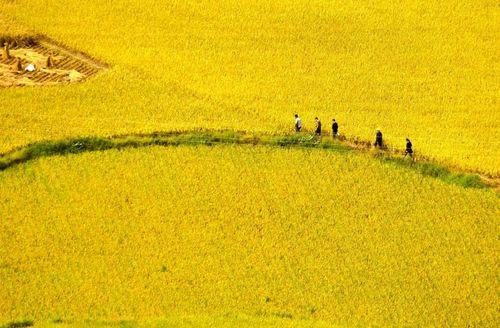 شالی برنج – چین