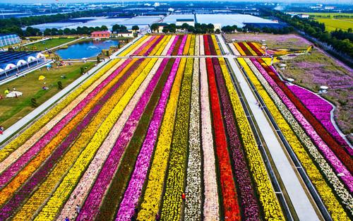 مزرعه پرورش گل داوودی در نزدیکی شهر شانگهای