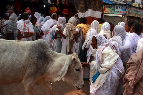 ادای احترام به گاو مادر از سوی بیوه زنان در جشنواره دیوالی در اوتارپرادش هند