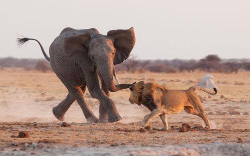 تقلای یک فیل برای نجات بچه هایش در مقابل حمله شیر – پارک ملی بوتسوانا
