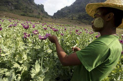یک مزرعه خشخاش در میانمار