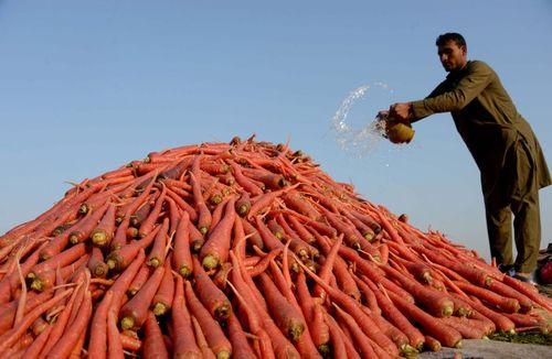 فروش هویج در شهر جلال آباد افغانستان