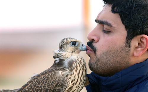 مرد کویتی در حال آموزش دادن شاهین