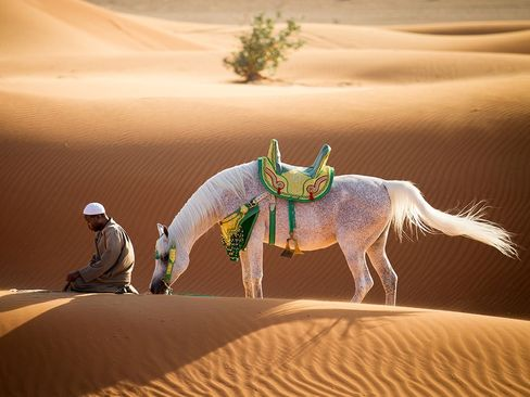 اسب عربی در صحرای شارجه – امارات