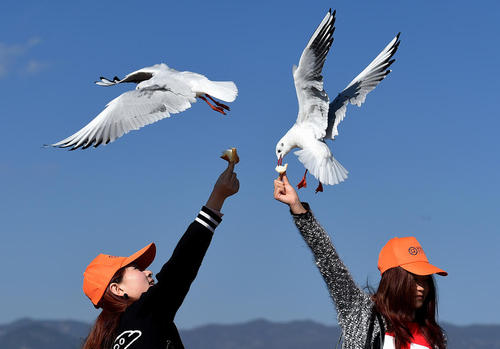 غذا دادن به مرغان دریایی در دریاچه دیانچی در کومینگ چین