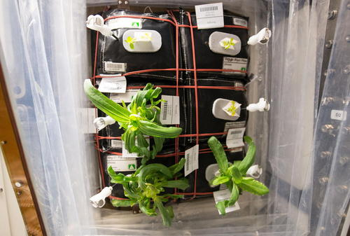 رشد گل های آهار در ایستگاه فضایی بین المللی