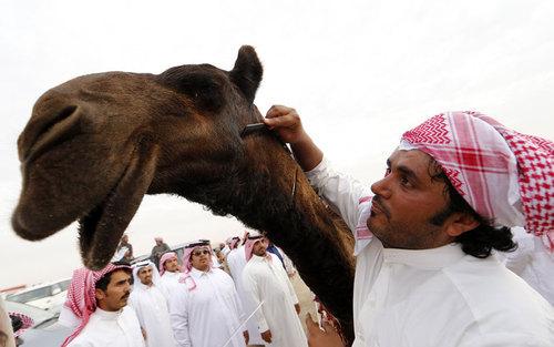 جوان عربستانی در حال تزیین شتر خود در مسابقه انتخاب زیباترین شتر در امارات. در این مسابقات سالانه که در شهر زاید امارات برگزار می شود شرکت کنندگان از کشورهای عربی حاشیه خلیج فارس حضور می یابند و شترهای خود را به مسابقه می گذارند