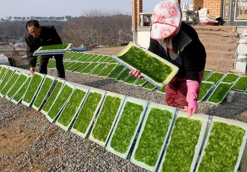 خشک کردن جلبک دریایی در روستایی در کره جنوبی
