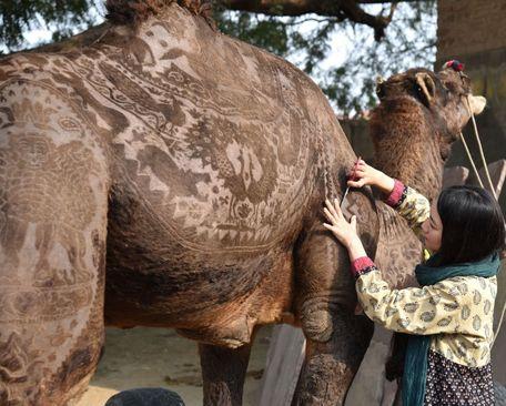 اصلاح و تزیین یک شتر در نمایشگاه سالانه شترها در بیکانر هند از سوی یک آرایشگر مشهور ژاپنی