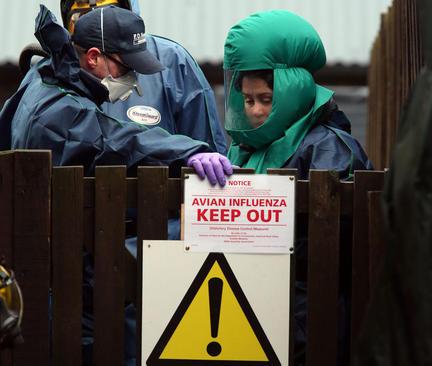 ابتلاء بیش از 40 هزار ماکیان یک مزرعه در اسکاتلند به آنفلوآنزای مرغی