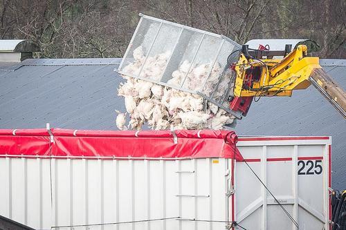 معدوم کردن مرغان مبتلا به آنفلوآنزا – اسکاتلند