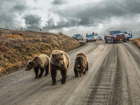 خرس های گیریزلی در جاده ای در پارک ملی دنالی در آلاسکا