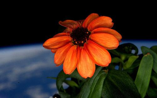تصویری از گل های پرورش یافته و رشد کرده در فضا. دانه های گل آهار از سوی فضانوردان ناسا به فضا برده شده و در شرایطی خاص در آنجا کشت داده شده است