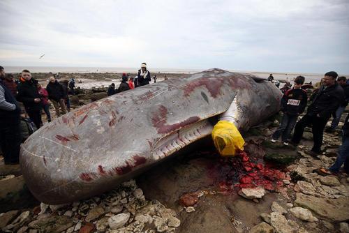 یک وال مرده 15 متری در ساحل نورفلک انگلیس