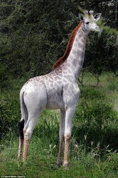 معرفی تانزانیا زرافه حیوانات نادر حیوانات کمیاب حیوان عجیب حیوان زیبا
