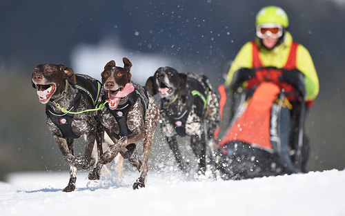 مسابقات سورتمه رانی با سگ – آلمان