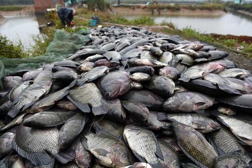 تلف شدن بیش از 50 هزار کیلو ماهی در رودخانه به دلیل سرما و یخزدگی آب – گینژو چین