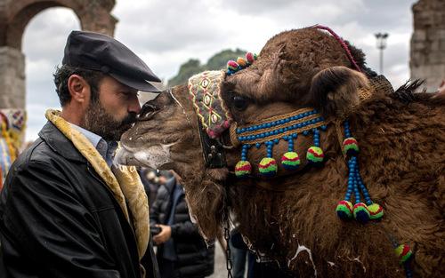 مرد شتردار در حال بوسه زدن به شترش پیش از برگزاری جشنواره سالانه زورآزمایی شترها- شهر سلجوق ترکیه