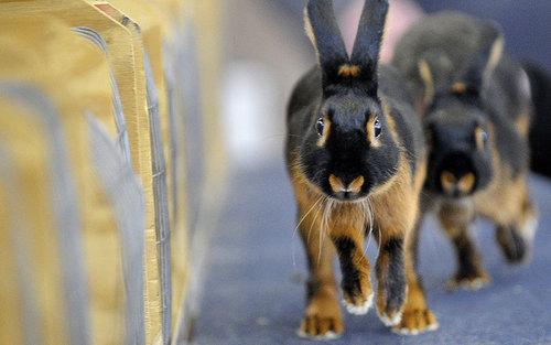 نمایش خرگوش ها – تگزاس