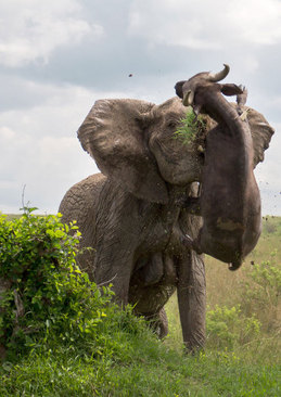 نزاع یک بوفالو با فیل- کنیا