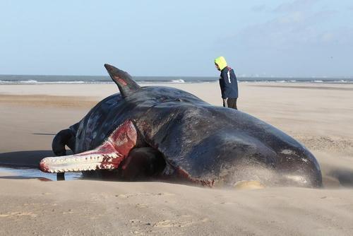 یک وال تلف شده در ساحل کاله فرانسه