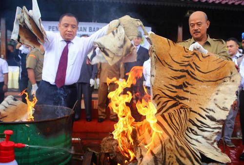 سوزاندن اشیای کشف شده از قاچاقچیان حیوانات در اندونزی