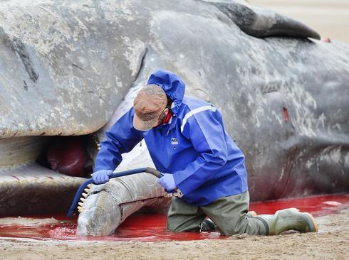 بریدن تکه ای از گوشت بدن یک وال مرده در سواحل انگلیس برای تحقیق درباره علت مرگ