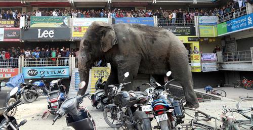 فرار یک فیل وحشی از جنگل به شهر سیلیگوری هند