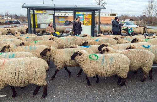 عبور یک گله 600 گوسفندی از برلین آلمان برای رفتن به سمت چراگاه جدید