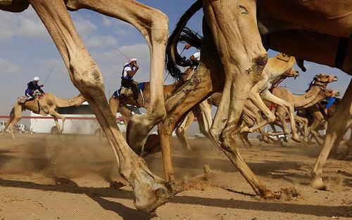 مسابقات شتر سواری در العین ابوظبی – اماراتپ
