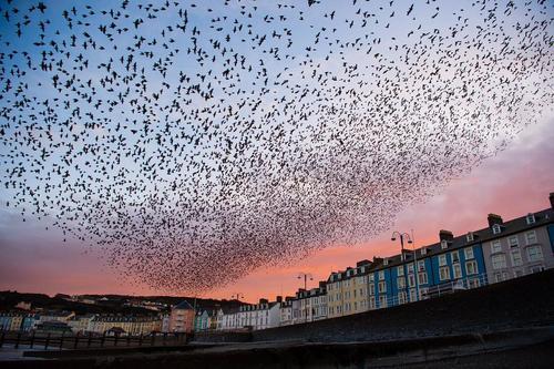 کوچ پرندگان در ولز بریتانیا