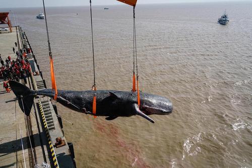 انتقال یک وال مرده در ساحل نانتونگ چین