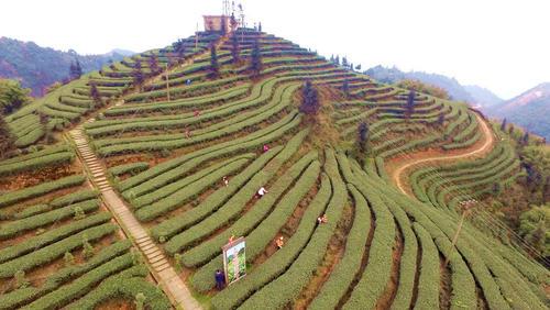 زمین های کشت چای در استان سیچوان چین