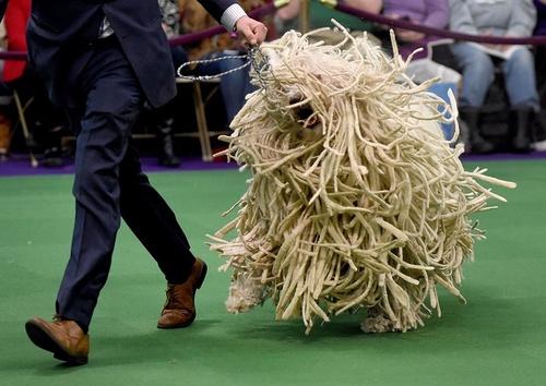 نمایشگاه سگ های خانگی – نیویورک