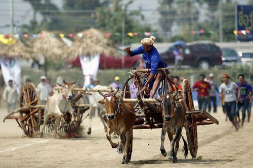 مسابقه ارابه رانی با گاو – تایلند