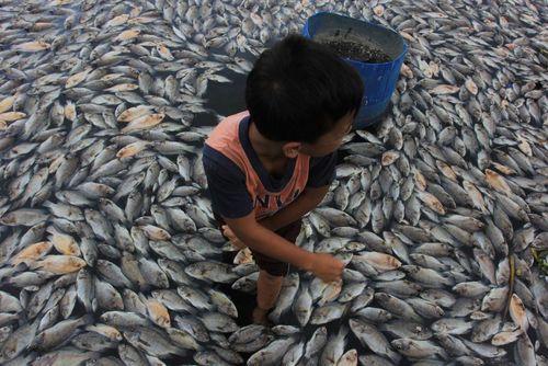ماهی های مرده روی آب دریاچه مانینجا در اندونزی