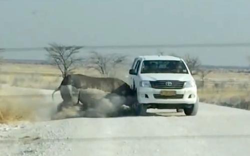 لحظه حمله یک کرگدن به یک خودرو در پارک ملی اتوشا در کشور آفریقایی نامیبیا