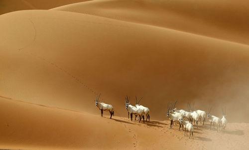 غزال های آفریقایی در بیابان « ام الزامول» در مرز عمان
