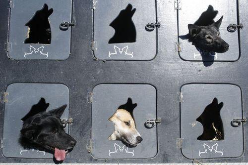مسابقات نمایش سگ در آلاسکا