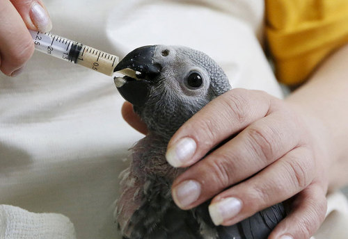 غذا دادن به طوطی خاکستری آفریقایی یک ماهه در باغ وحشی در سیبری روسیه