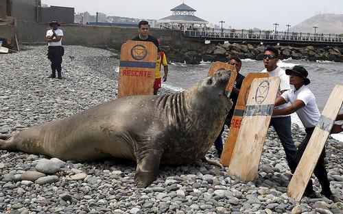 تلاش امدادگران برای معاینه یک شیر دریایی مریض که به ساحل شهر لیما پرو آمده است