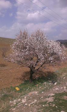 اسفند 94- شکوفه درختان- روستای بوکت- شهرستان عجب شیر- استان خوزستان- حسین کرمی