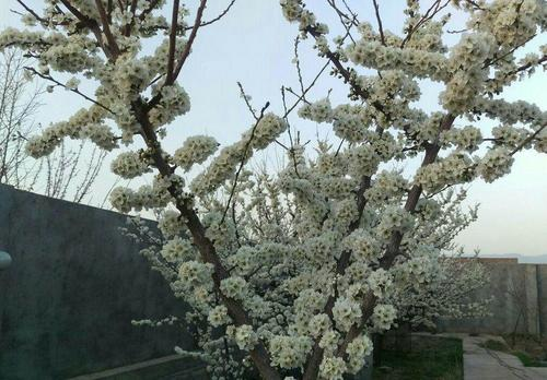 اسفند 94- شکوفه های درخت گوجه سبز- شهرستان نیشابور- استان خراسان رضوی- مهر بانو