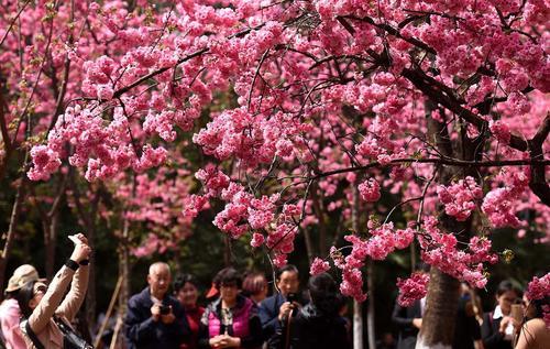 شکوفه های گیلاس در پارکی در شهر کونمینگ چین