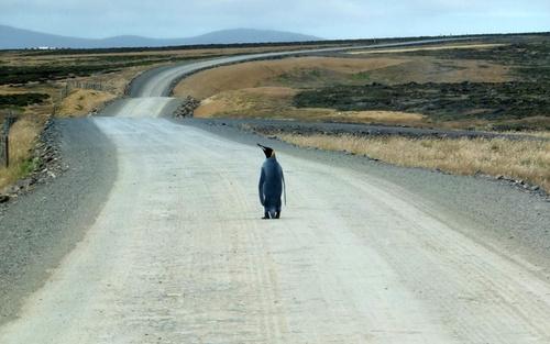 یک پنگوئن امپراتور تنها و دور افتاده از کلونی در جزایر فالکلند (مالویناس) در اقیانوس اطلس
