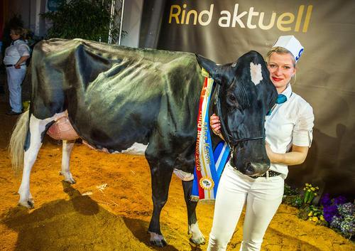برنده مسابقات سالانه بهترین گاو شیرده در آلمان